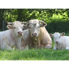 charolais for breeding and slaughtering