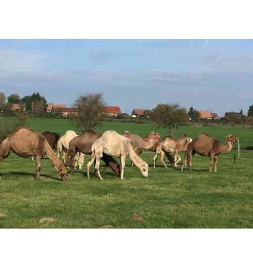 touristic activities about camel and dromedaries in North France - We welcome you for various events, meals and unusual accommodation throughout the summer. You will thus be able to discover the magic contact with our animals requesting themselves this contact